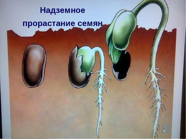 Надземное прорастание семян
