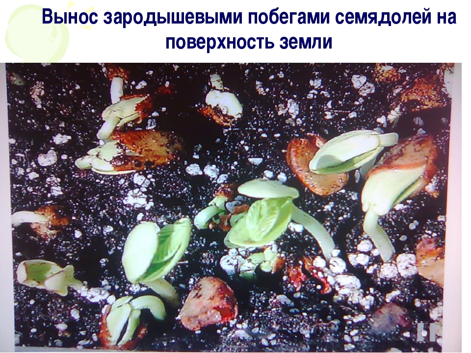 Вынос зародышевыми побегами семядолей на поверхность земли