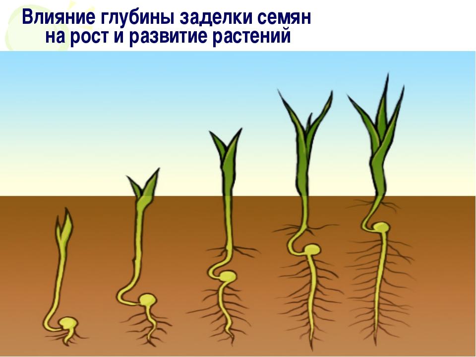 на рост и развитие растений Влияние глубины заделки семян