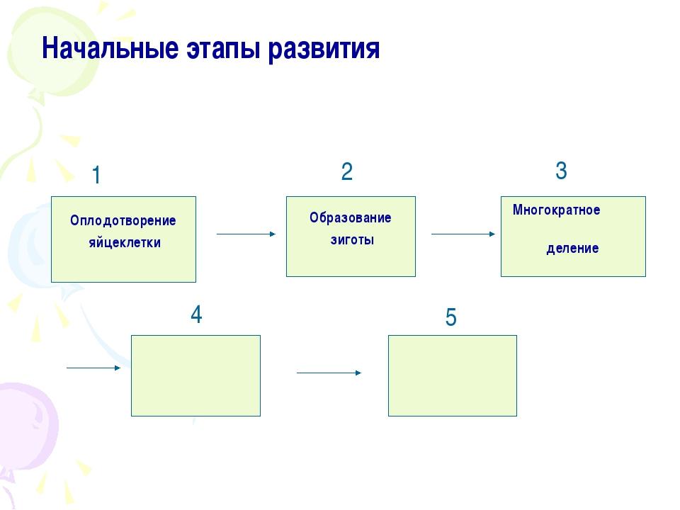 Начальные этапы развития Оплодотворение яйцеклетки Образование зиготы деление...