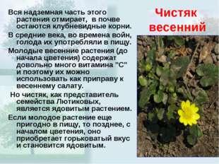 Чистяк весенний Вся надземная часть этого растения отмирает, в почве остаются
