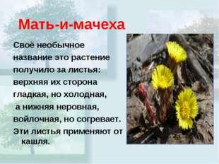 Мать-и-мачеха Своё необычное название это растение получило за листья: верхня