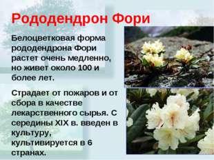 Рододендрон Фори Белоцветковая форма рододендрона Фори растет очень медленно,
