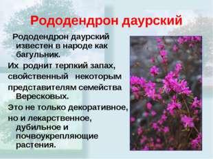Рододендрон даурский Рододендрон даурский известен в народе как багульник. Их
