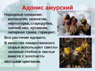 Адонис амурский Народные названия: волосатик, мохнатик, черногорка, стародубк