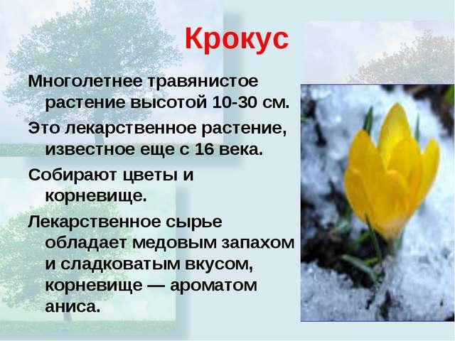 Крокус Многолетнее травянистое растение высотой 10-30 см. Это лекарственное р...