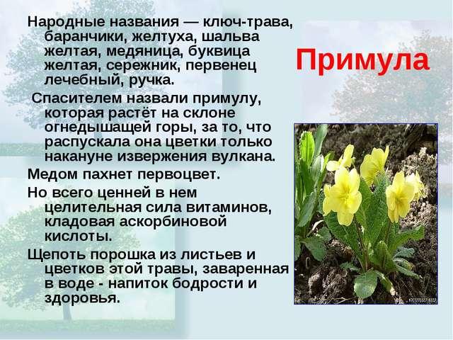 Примула Народные названия — ключ-трава, баранчики, желтуха, шальва желтая, ме...