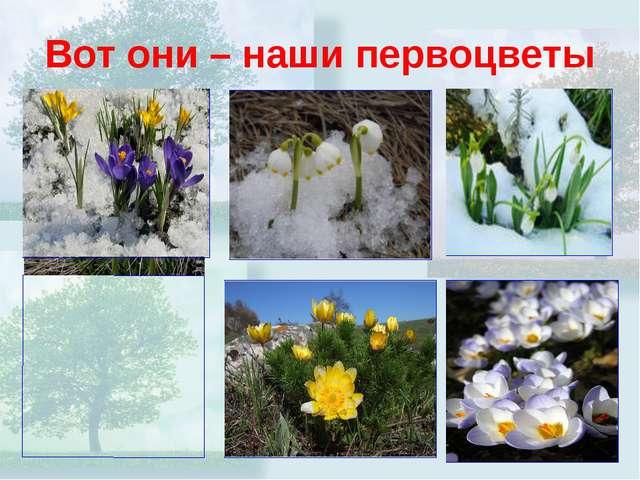 Вот они – наши первоцветы