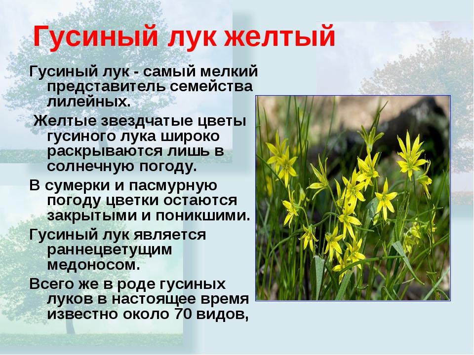 Гусиный лук желтый Гусиный лук - самый мелкий представитель семейства лилейны...