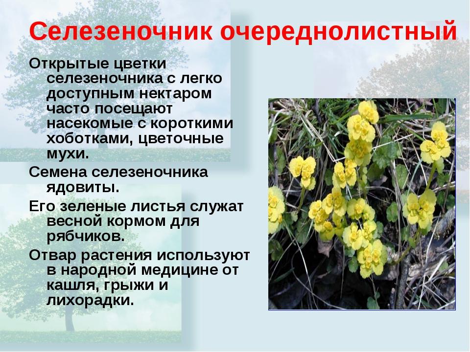 Селезеночник очереднолистный Открытые цветки селезеночника с легко доступным...