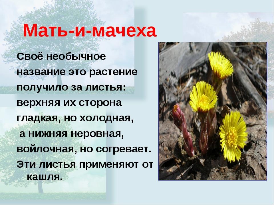 Мать-и-мачеха Своё необычное название это растение получило за листья: верхня...