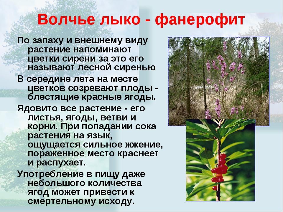 Волчье лыко - фанерофит По запаху и внешнему виду растение напоминают цветки...