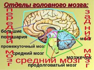 Отделы головного мозга: мозжечок средний мозг продолговатый мозг большие полу