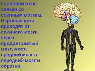 Головной мозг связан со спинным мозгом. Нервные пути проходят от спинного моз