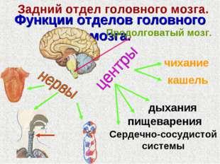 Функции отделов головного мозга. Задний отдел головного мозга. Продолговатый