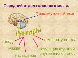 Передний отдел головного мозга. Промежуточный мозг. голод жажда насыщение тем