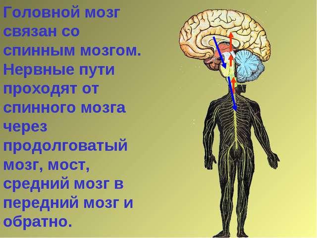 Головной мозг связан со спинным мозгом. Нервные пути проходят от спинного моз...