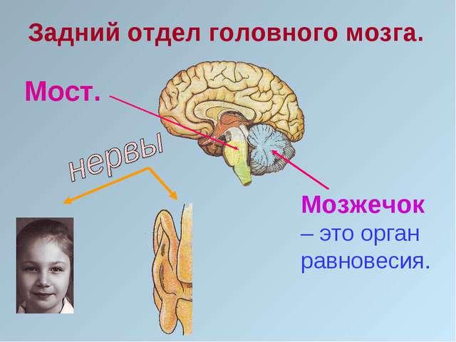 Задний отдел головного мозга. Мост. Мозжечок – это орган равновесия.