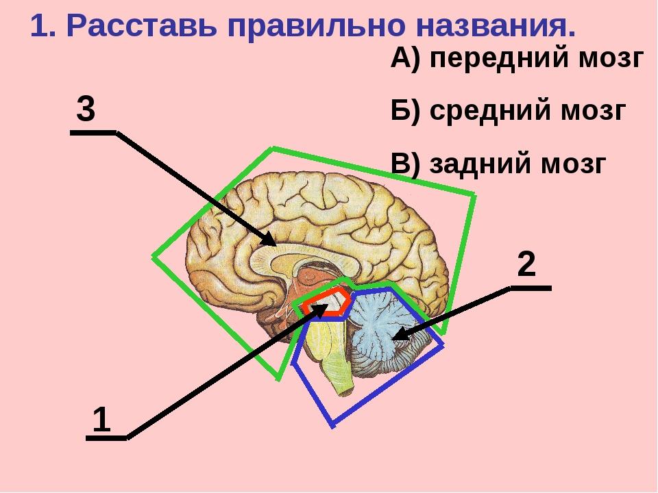 1 2 3 1. Расставь правильно названия. А) передний мозг Б) средний мозг В) зад...