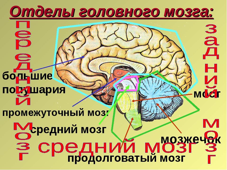 Отделы головного мозга: мозжечок средний мозг продолговатый мозг большие полу...