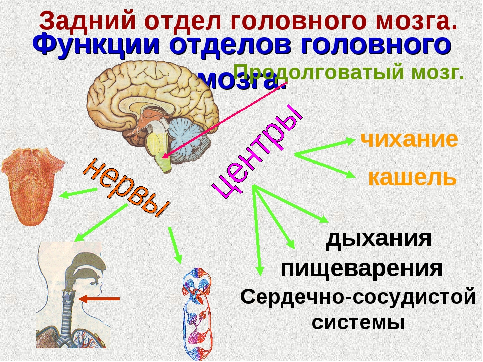 Функции отделов головного мозга. Задний отдел головного мозга. Продолговатый...