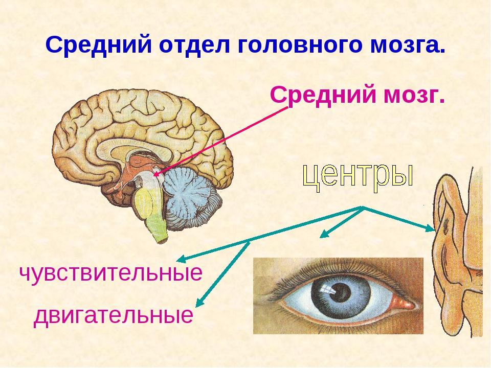 Средний отдел головного мозга. Средний мозг. чувствительные двигательные