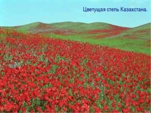 Цветущая степь Казахстана.