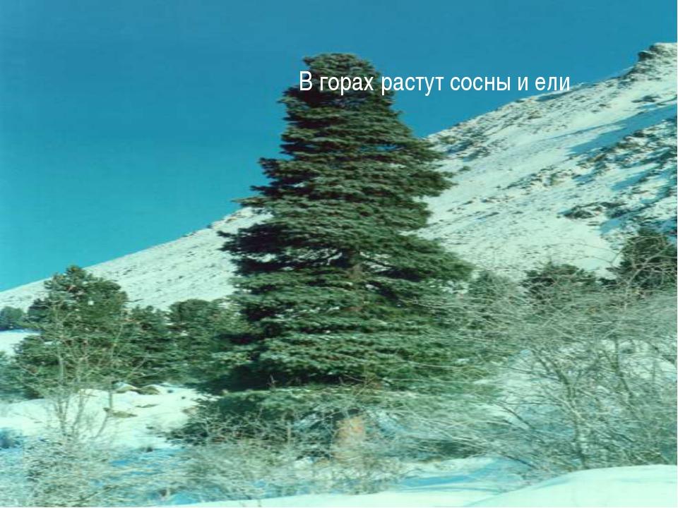 В горах растут сосны и ели