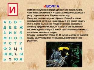 И ИВОЛГА Немного крупнее скворца (длина тела около 25 см) . Обитатель листвен