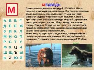 М МЕДВЕДЬ Длина тела современных медведей 110–300 см. Лапы сильные, стопоходя