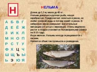 Н НЕЛЬМА Длина до 1,3 м, масса до 40 кг. Нельма довольно крупная рыба, чешуя