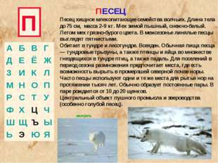 П ПЕСЕЦ Песец хищное млекопитающее семейства волчьих. Длина тела до 75 см, ма