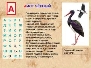 А АИСТ ЧЁРНЫЙ Гнездящаяся перелетная птица. Прилетает в начале мая, гнезда ст