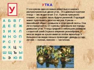 У УТКА Утка кряква одна из самых известных и широко распространенных диких ут