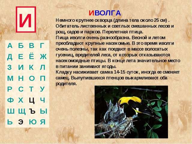 И ИВОЛГА Немного крупнее скворца (длина тела около 25 см) . Обитатель листвен...