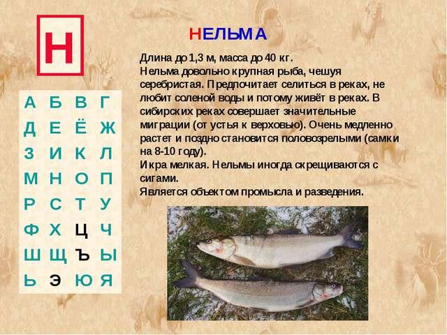 Н НЕЛЬМА Длина до 1,3 м, масса до 40 кг. Нельма довольно крупная рыба, чешуя...