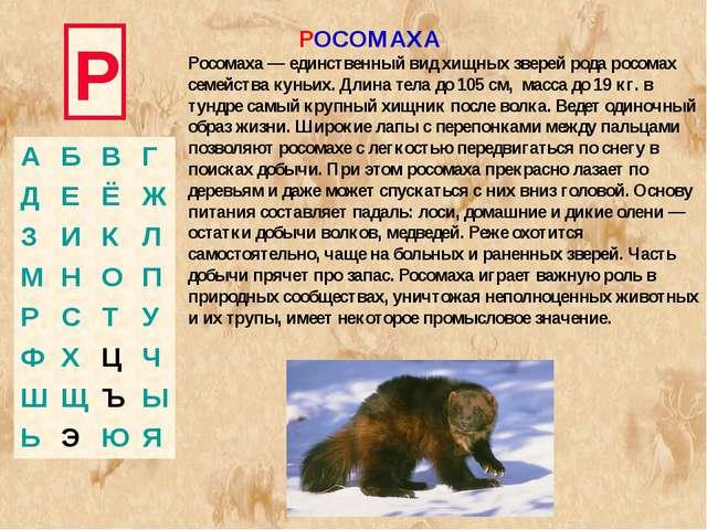 Р Росомаха — единственный вид хищных зверей рода росомах семейства куньих. Дл...