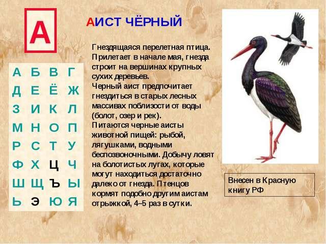 А АИСТ ЧЁРНЫЙ Гнездящаяся перелетная птица. Прилетает в начале мая, гнезда ст...