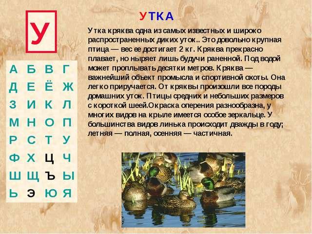 У УТКА Утка кряква одна из самых известных и широко распространенных диких ут...