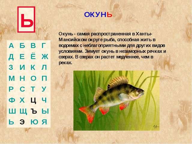 Ь Окунь - самая распространенная в Ханты-Мансийском округе рыба, способная жи...