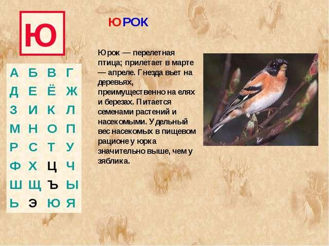 Ю Юрок — перелетная птица; прилетает в марте — апреле. Гнезда вьет на деревья...