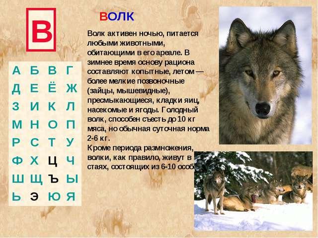 В Волк активен ночью, питается любыми животными, обитающими в его ареале. В з...