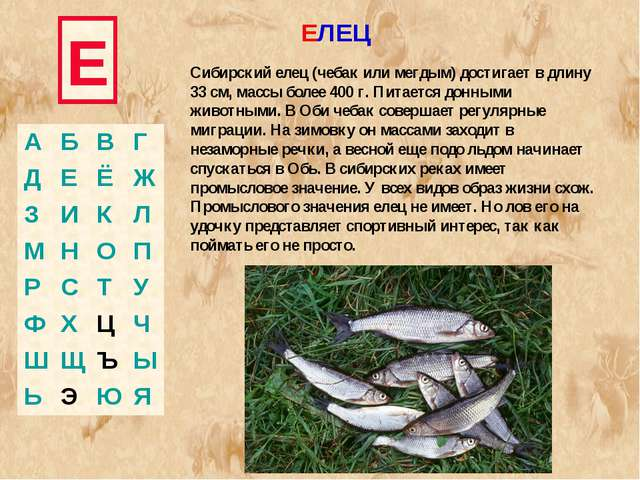 Е Сибирский елец (чебак или мегдым) достигает в длину 33 см, массы более 400...