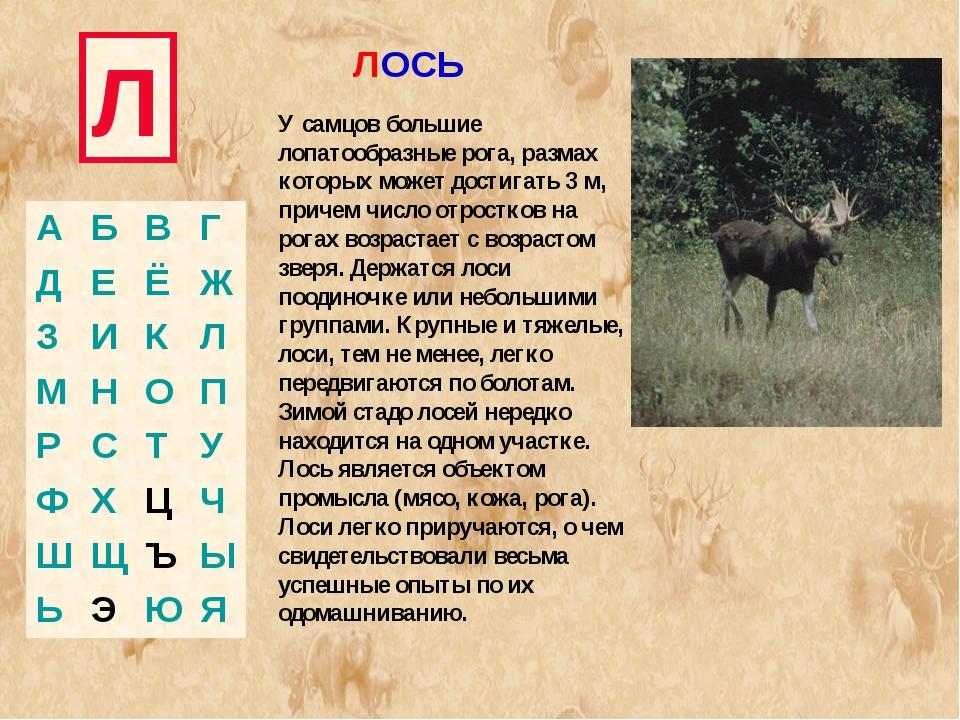 Л ЛОСЬ У самцов большие лопатообразные рога, размах которых может достигать 3...