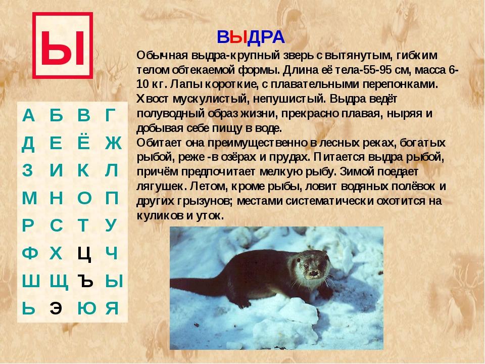 Ы ВЫДРА Обычная выдра-крупный зверь с вытянутым, гибким телом обтекаемой форм...