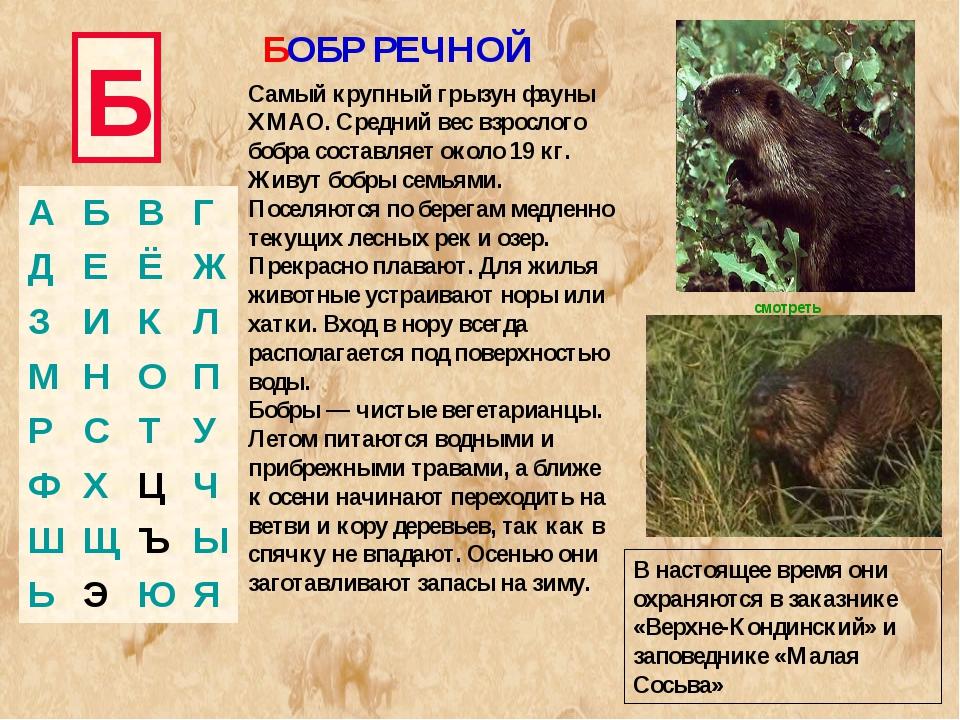 Б Самый крупный грызун фауны ХМАО. Средний вес взрослого бобра составляет око...