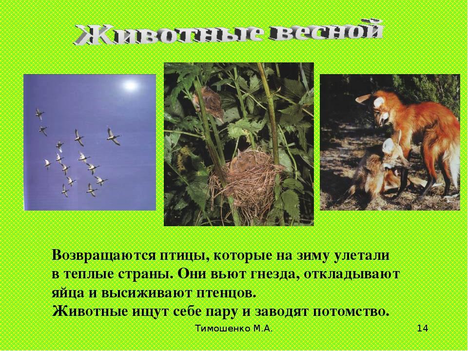 Тимошенко М.А. * Возвращаются птицы, которые на зиму улетали в теплые страны....