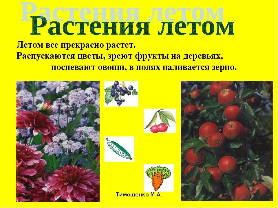 Тимошенко М.А. * Летом все прекрасно растет. Распускаются цветы, зреют фрукты...