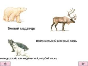 Белый медведь Командорский, или медновский, голубой песец Новоземельский севе