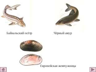 Байкальский осётр Чёрный амур Европейская жемчужница